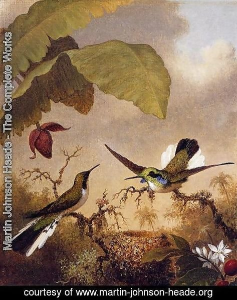 Martin Johnson Heade - Black Eared Fairy