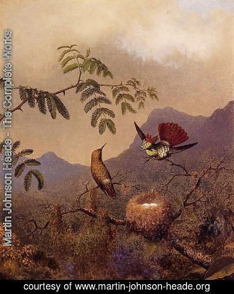 Martin Johnson Heade - Frilled Coquette